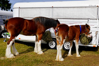 Clydesdale Show - Boonah