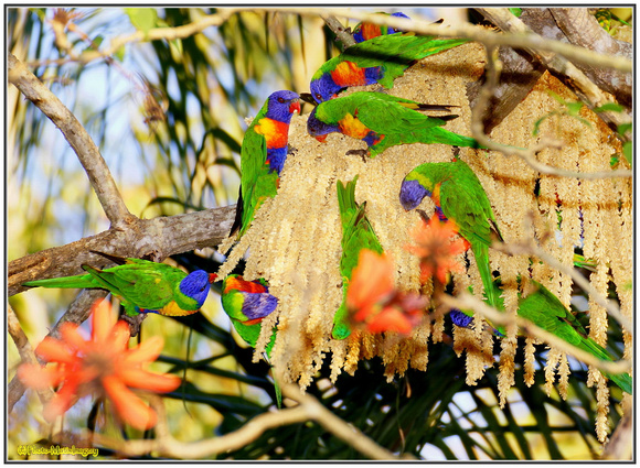 Lorikeets in Cocos Palm Flower