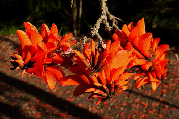 Coral Tree in our yard
