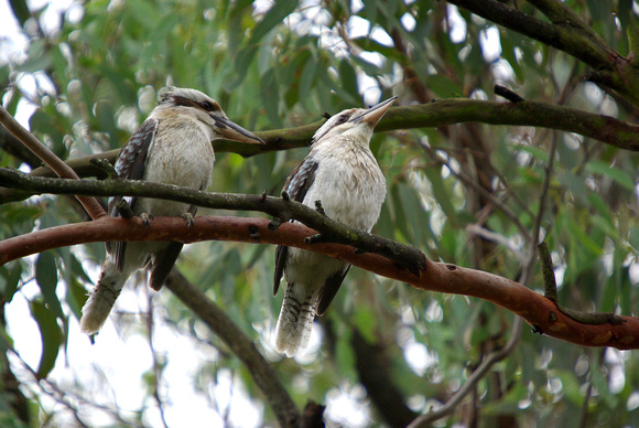 Rainy Day Kookaburras